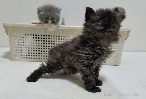 セルカーク・レックスの子猫
